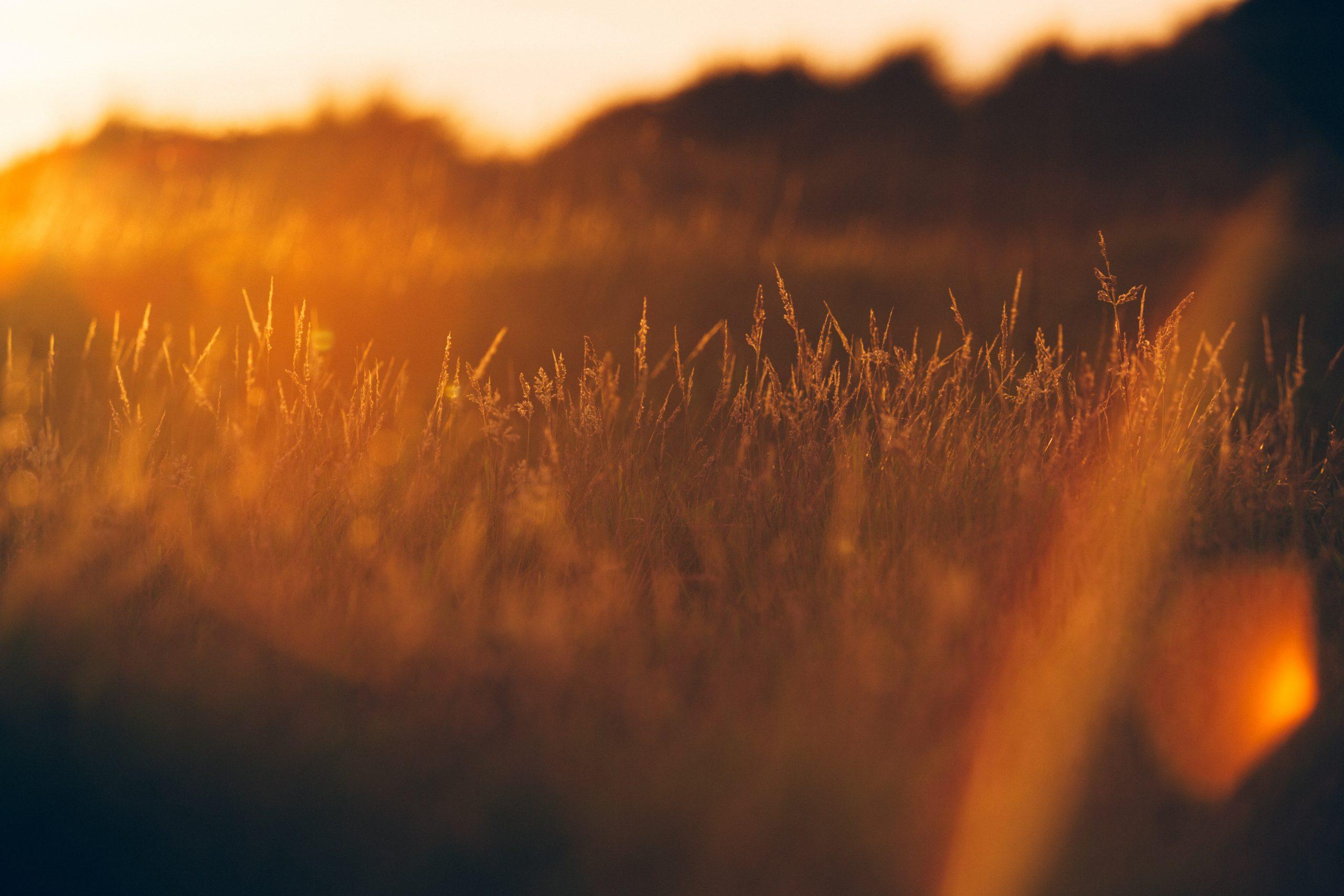 Auringonlaskun oranssiksi värjäämä viljapelto