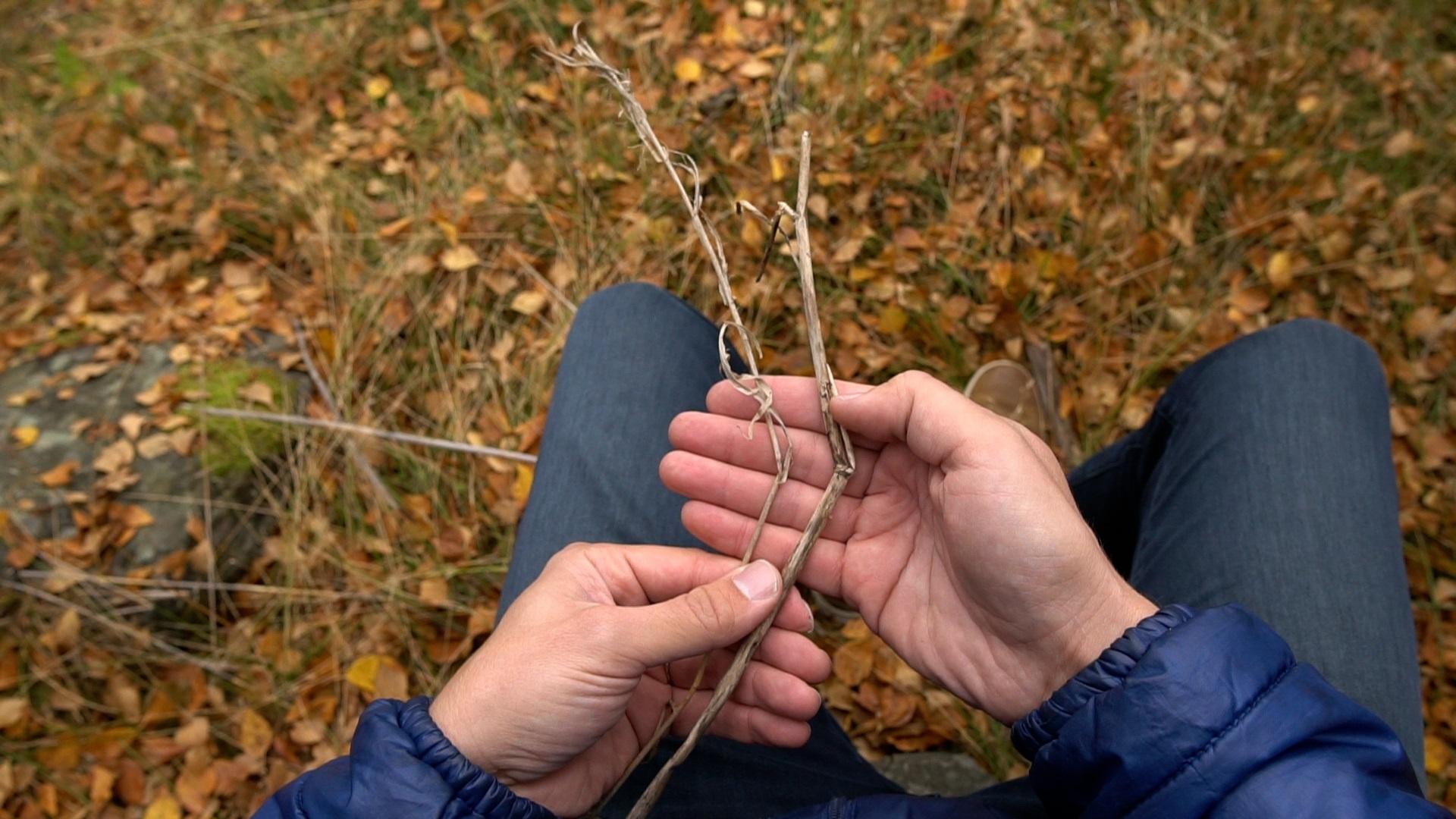 Mies pitelee kuivuneita oksia käsissään