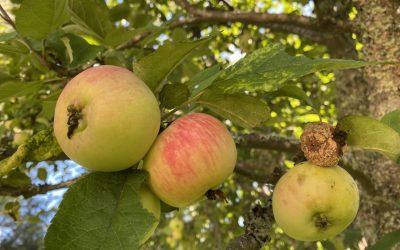 Hyvä hedelmä